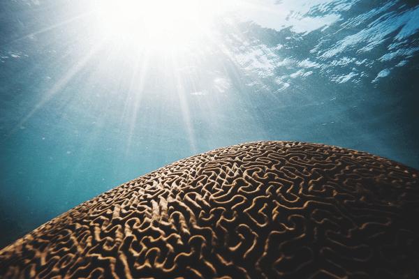 Brain Coral At Marigot Bay